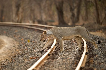 Lions Train Spotting In Komati